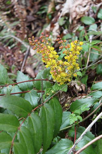 Cougar Mountain - Far Country Trail - Yellow Holly Flowers