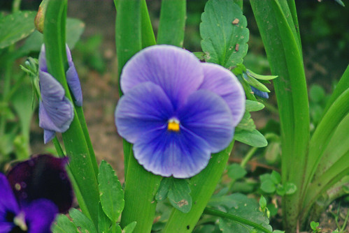 blue flower, istanbul, pentax k10d