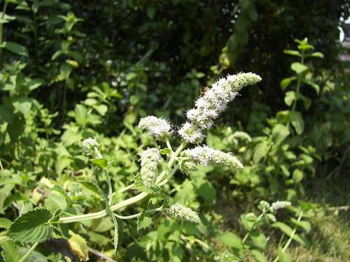 spearmint flower