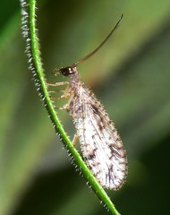 Small lacewing