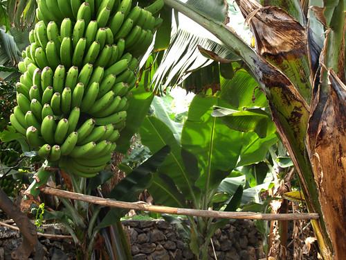 Banana management