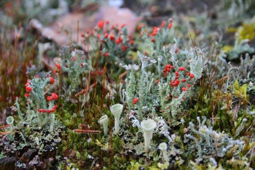 British Soldiers lichen, Cladonia cristatella