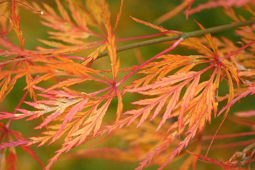 Threadleaf Maple
