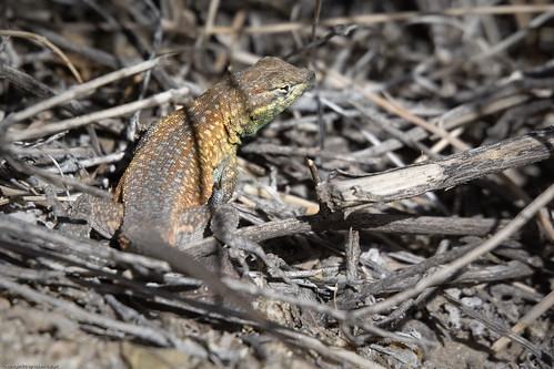 Common Side-blotched Lizard by you.