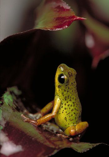 Strawberry Poison Arrow Frog (green)