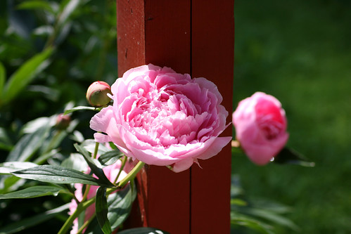 My peonies are blooming!