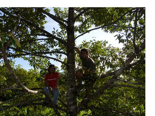 Monkeys in the tree