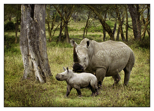 White rhinos in a Kenyan forest