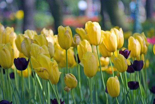 yellow tulips and black tulips, istanbul tulip festival, istanbul, pentax k10d