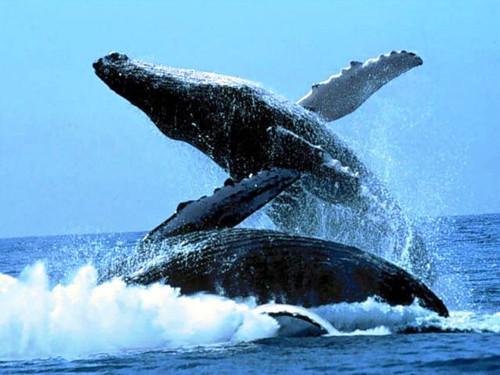 Balene_salto