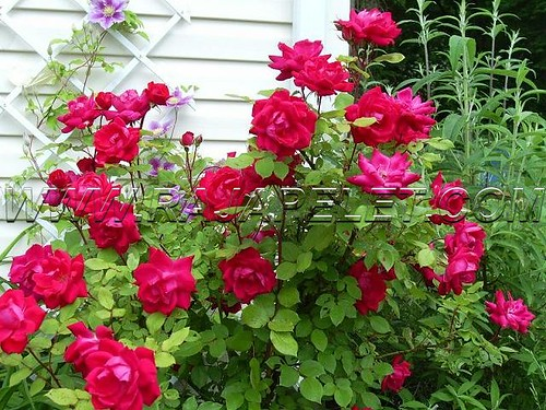 pelet bunga mawar