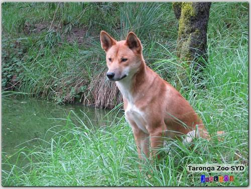 Taronga Zoo - Dingo