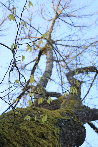Tumwater Washington American Chestnuts - Baby Leaves and Moss in Sun