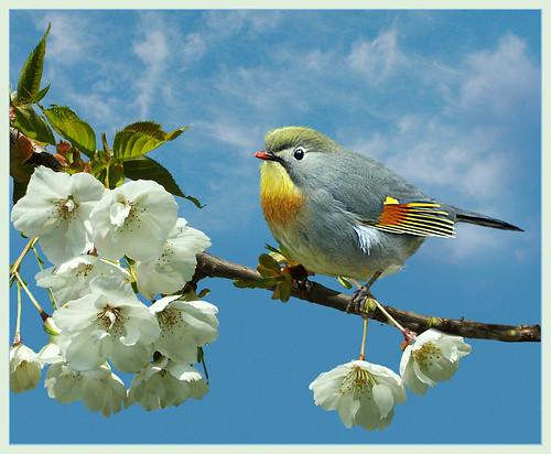 Pekin robin on cherry blossom (leiothrix lutea) by hawkgenes.