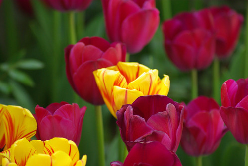 yellow tulips and red tulips, istanbul tulip festival, istanbul, pentax k10d