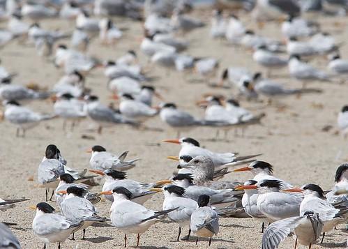 Elegant Terns and Gulls by you.