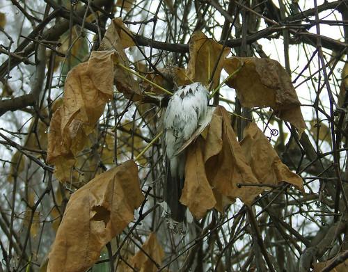 dead cuckoo