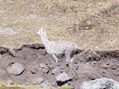 Apolobamba Bolivia 2005 (86)