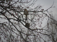 sparrows in the Hackberry