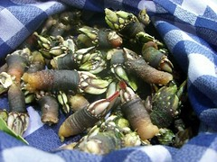 Percebes, Goose Barnacles