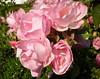 Trinidad roses
