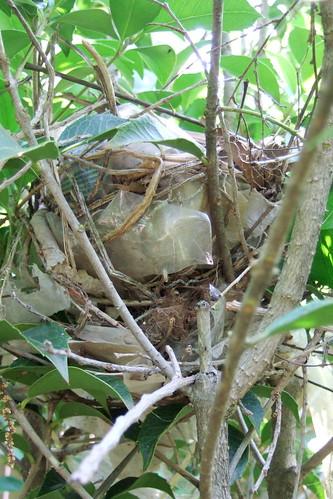 Gray catbird nest