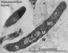 mycobacteriumleprae