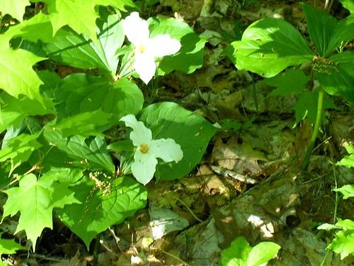 White Flowers Growing in Rum Village Trail