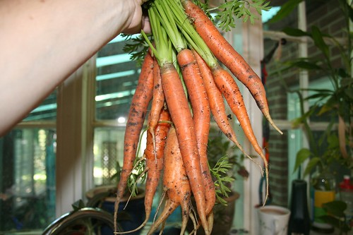 First Carrot Harvest 2008