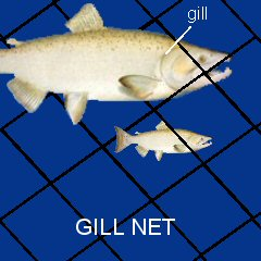 The large salmon get caught in the net, but the small ones get through.