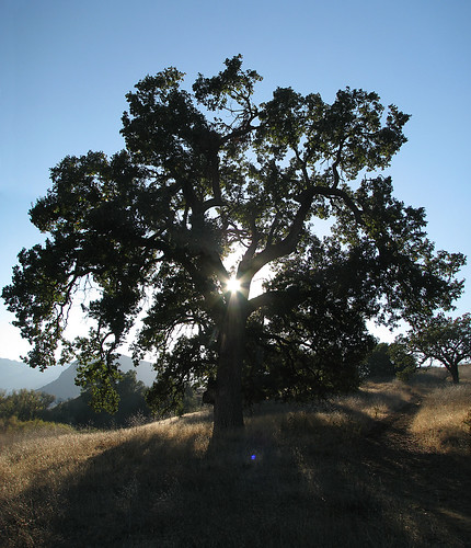 Oak Tree Photomerge