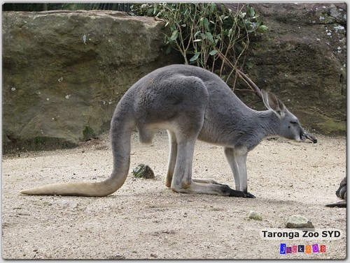 Taronga Zoo - Agile Wallaby