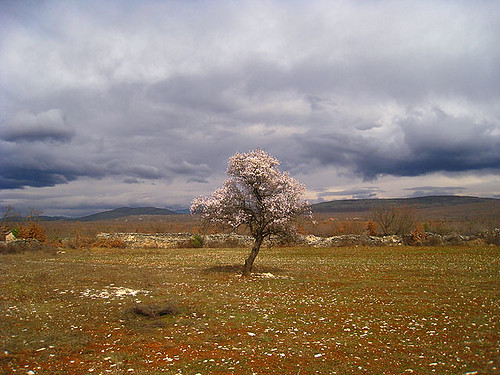 Almond tree in Bukovica...