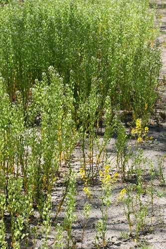 Field Pennycress and mustard