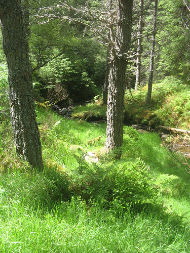 Up through the forest above Glenmore
