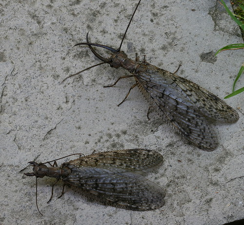 Male and female dobsonflies