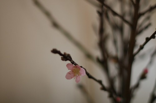 Nectarine Bloom