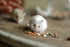 Hamster-06