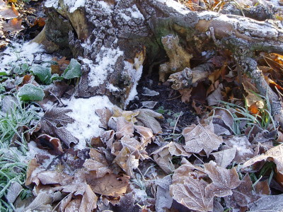 another tree stump.. i love this photo, it shows death, decay, frost and winter in a way that i find really beautiful.