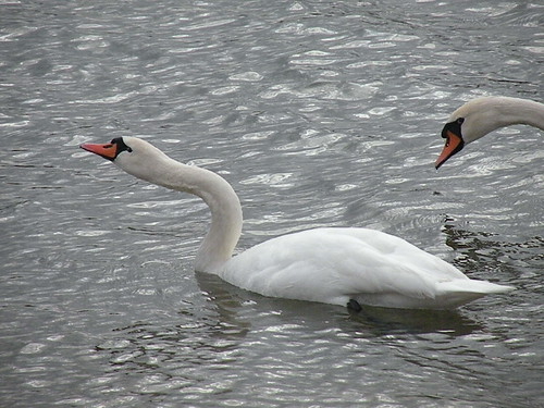 A pair of Mute Swans on the shores of Adas swimming beach.