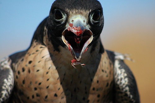 peregrine falcon eating mouth open