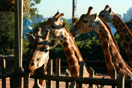 Giraffes at Taronga Zoo