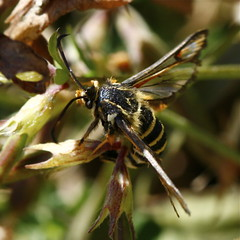 Six-belted Clearwing (Glyne Gap, East Sussex)