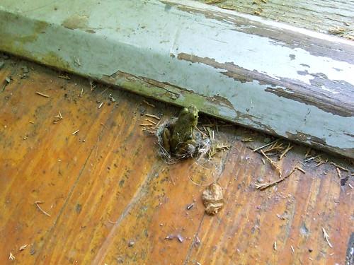 green frog indoors