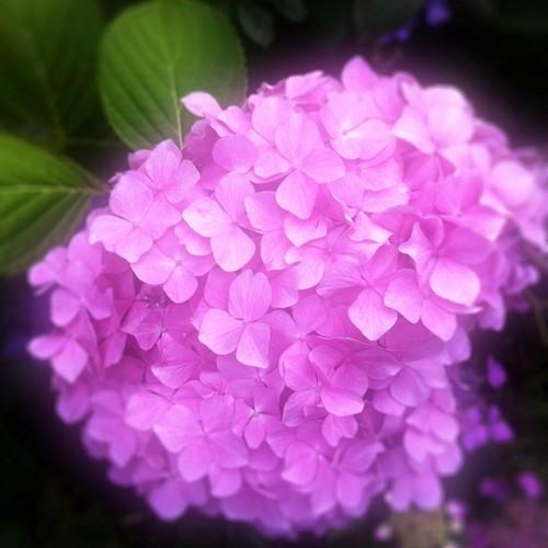 まだまだ雨続きそうなので、紫陽花でもどうぞ! #紫陽花 #flower