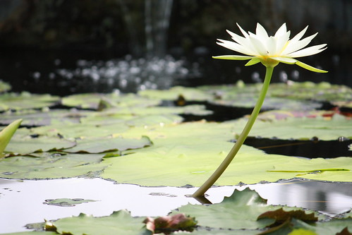 White Lotus Before Falls