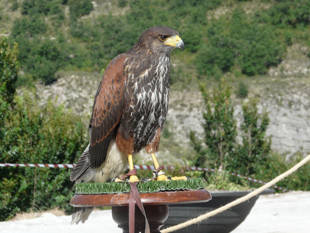 Aguila de harris
