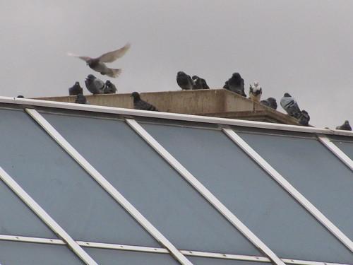 Pidgeons atop the Edwardian Hotel