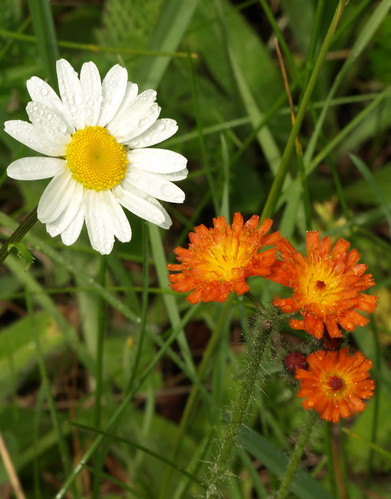 Ox Eye Daisies and Orange Hawkweed