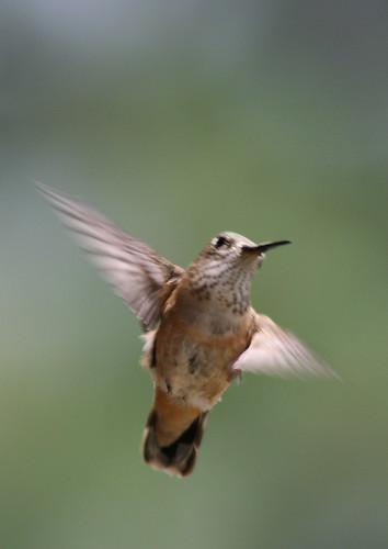 female rofous hummingbird